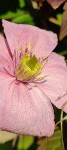 Clematis uit de tuin gefotografeerd met macro functie van OnePlus 7 Pro in de tuin.